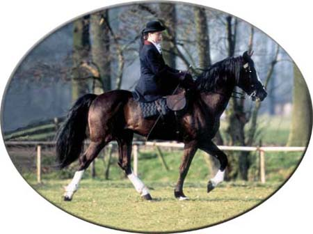 Lad's Black Buster walking under side-saddle, rider Maryan Zyderveld - year 1992 - place: Woudenberg, province Utrecht